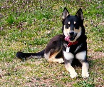 Gerberian Shepsky Dog Breed Information And Pictures German