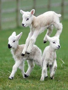 Baby Animals How Could I Resist Gorgeous Leaping Lambs Who Wouldnt Want A Spring Wedding