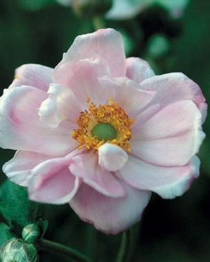 Fall Blooming Anemones Fall Plants Partial Shade Plants Anemone
