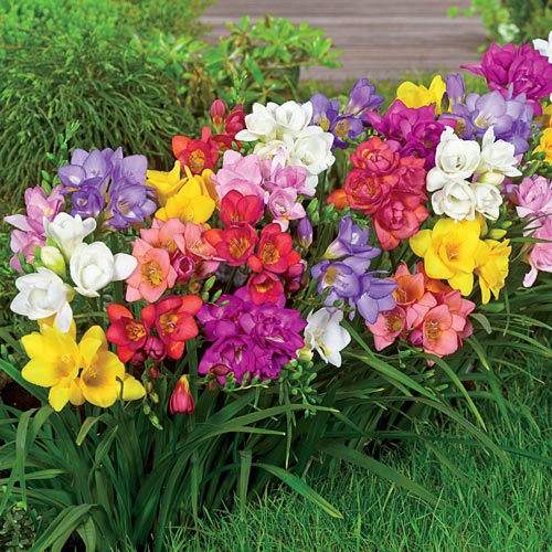 Summer Breeze Freesia Mixture 24 Per Package In 2020 Freesia Flowers Bulb Flowers Flower Seeds