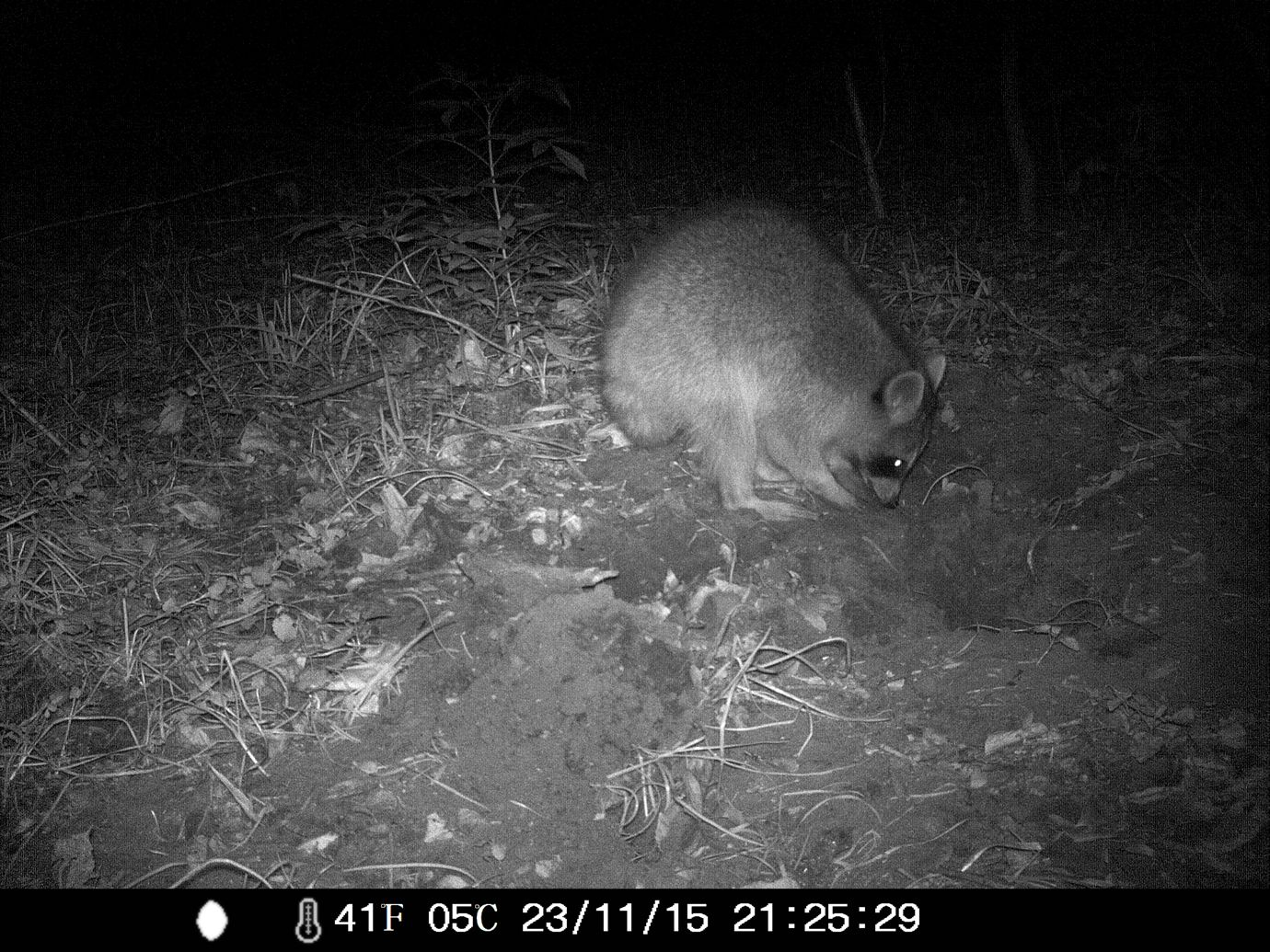 11/23/2015: raccoon digging a hole or something. roberd's dairy farm
