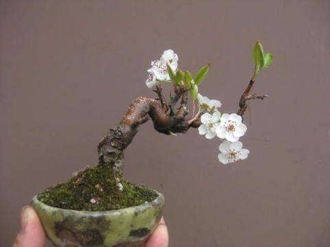 盆栽:白い花が咲く |春嘉の盆栽工房