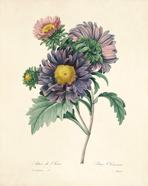 Aster art antique botanical prints Vintage prints garden wall art