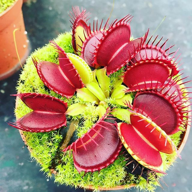 It's a good year for flytraps typ form UK grown #venus #pitcherplant…