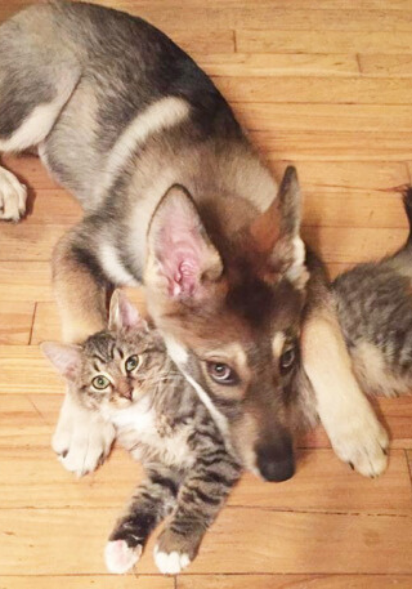 Husky Goes To The Shelter To Pick Out Her New Best Friend A Kitten In 2020 Animals Kitten Animal Lover