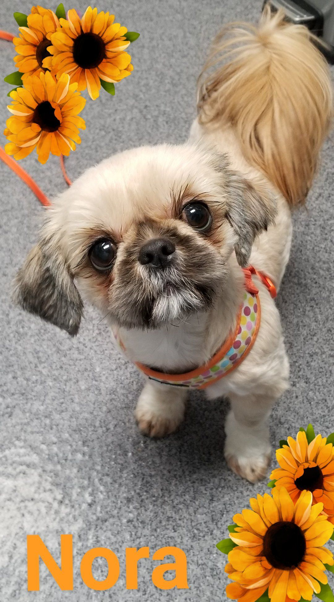 Adopt Nora Adopted 1/20/19 on Pets, Dogs, Shih tzu dog
