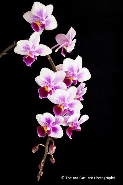 https://flic.kr/p/azqc2x | Mini Phalaenopsis [Explore]