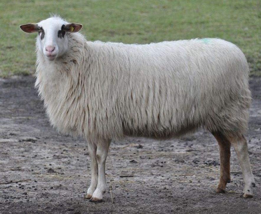 Bentheimer Landschaf (also known as Landrace of Bentheim) is a breed of domesticated sheep found in Germany. This breed is a cross between German and Dutch heath sheep and a marsh sheep. It is primarily used for landscape preservation.
