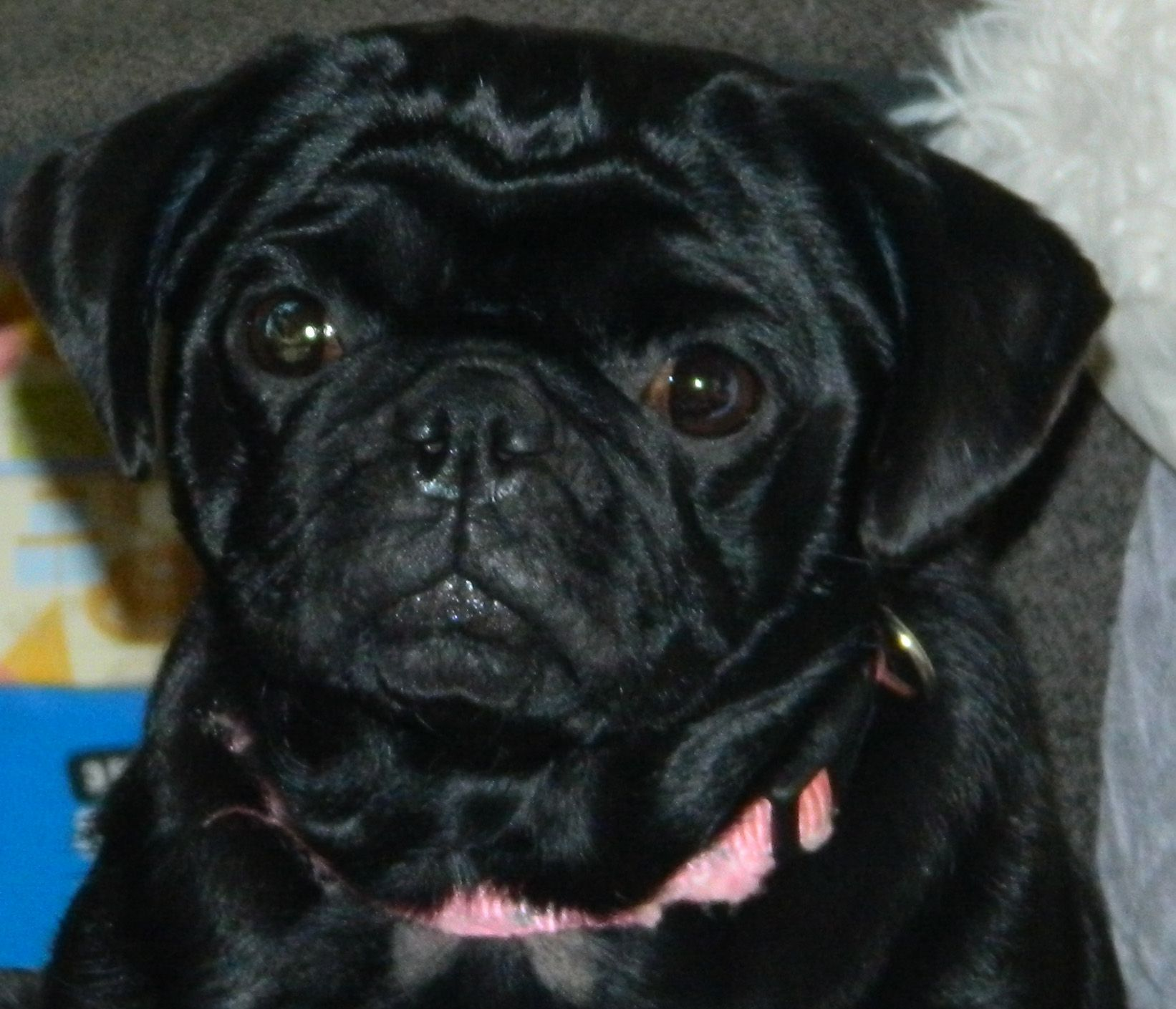 Lost Or Stolen Reward Female Black Pug Her Name Is Winni And