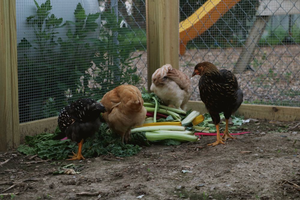 What Not To Feed Chickens And Ducks Organic Poultry Feed
