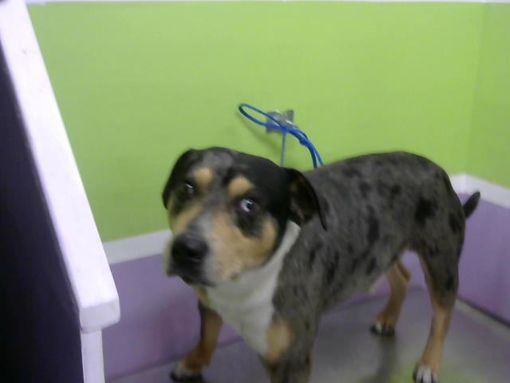 Houston Tx Catahoula Leopard Dog Meet Waylon A Pet For Adoption In 2020 Catahoula Leopard Dog Catahoula Leopard