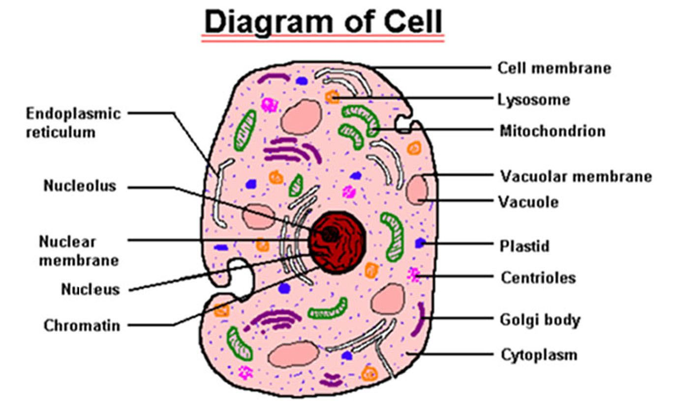 hight resolution of labeled blood cells under microscope give the function of each of the following cell parts