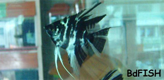 Angel Pterophyllum Scalare Aquarium Fishes Bd Aquarium Fish