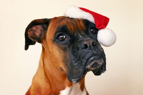 boxer dog in christmas hat Boxer dogs, Cute puppy
