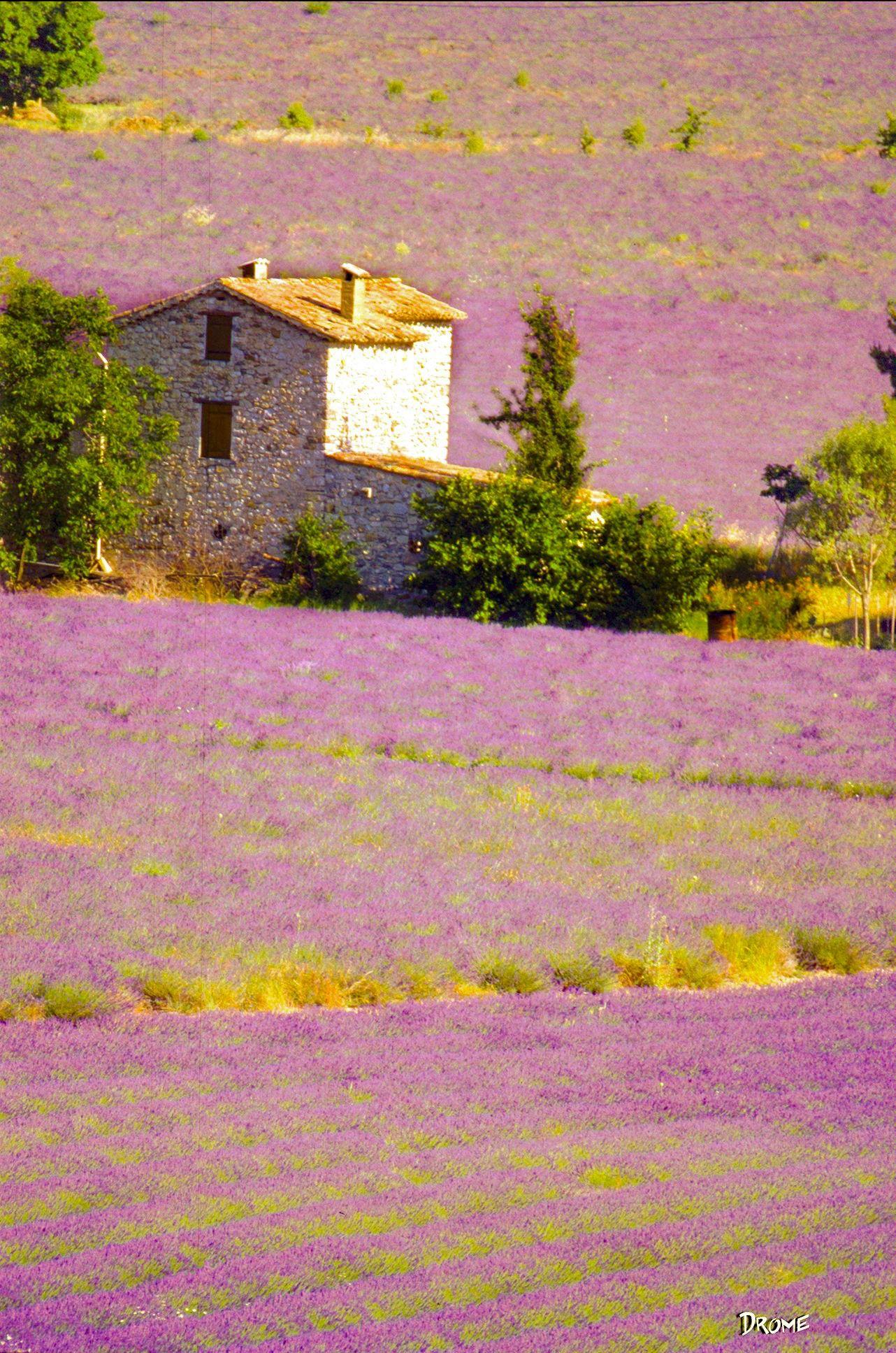 Lavender field (Drôme, France) by Giuseppe Di Rocco