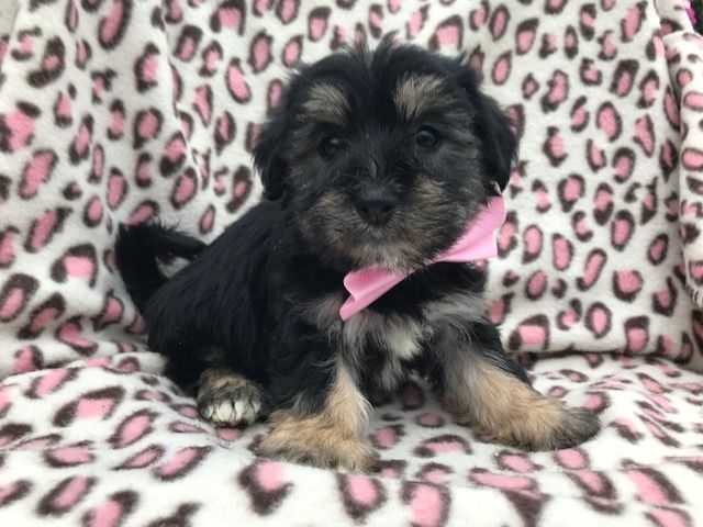 Shih Poo Puppy For Sale In East Earl Pa Adn 47321 On Puppyfinder