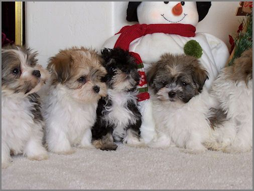 Havanese Puppies I Want One Of These Dogs They Are A Toy Breed
