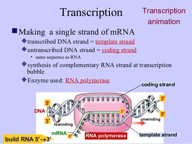 mrna is transcribed from dna coding strand - Google Search