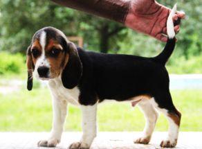 New Beagle Pup Branko S King Tarzan From Canada To Alabama