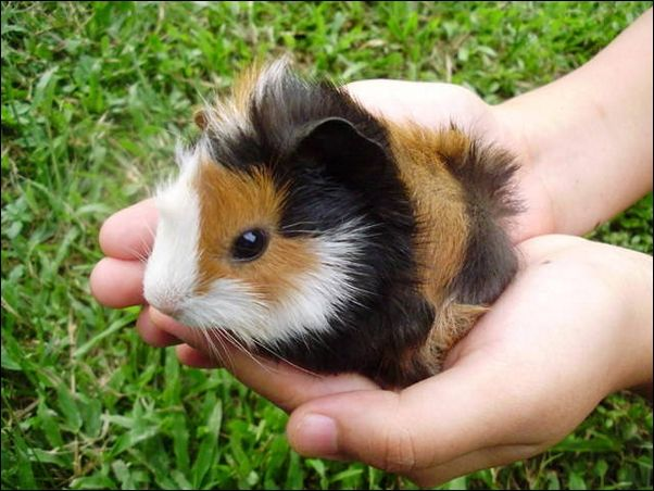 Baby Guinea Pigs As Pets