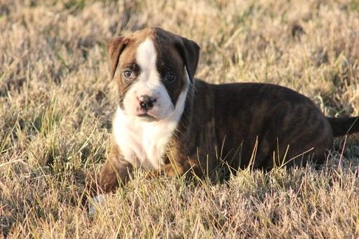 Boxer puppy for sale in OZARK, MO. ADN26486 on