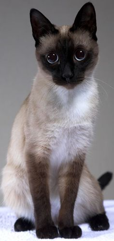 The Traditional Siamese Cat - Cat Breeds Encyclopedia