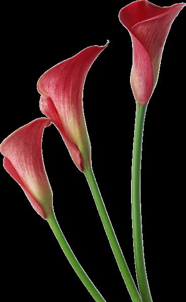 red transparent calla lilies flowers clipart card graphics rh pinterest com calla lily clip art free cala lily clip art