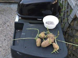 How to grow Potatoes How to grow potatoes (easy Step by step guide) #growingpotatoes how to grow Potatoes #growingpotatoes