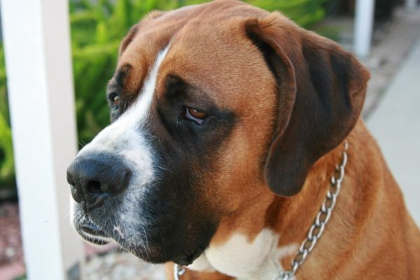 Saint Bernard Great Dane Mix Hybrid Dogs Saint Bernard Great