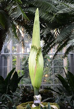 The Huge Titan Arum Amorphophallus Titanum Also Known As The Corpse Flower Or Stinky Plant I Corpse Flower Bloom United States Botanic Garden Corpse Flower