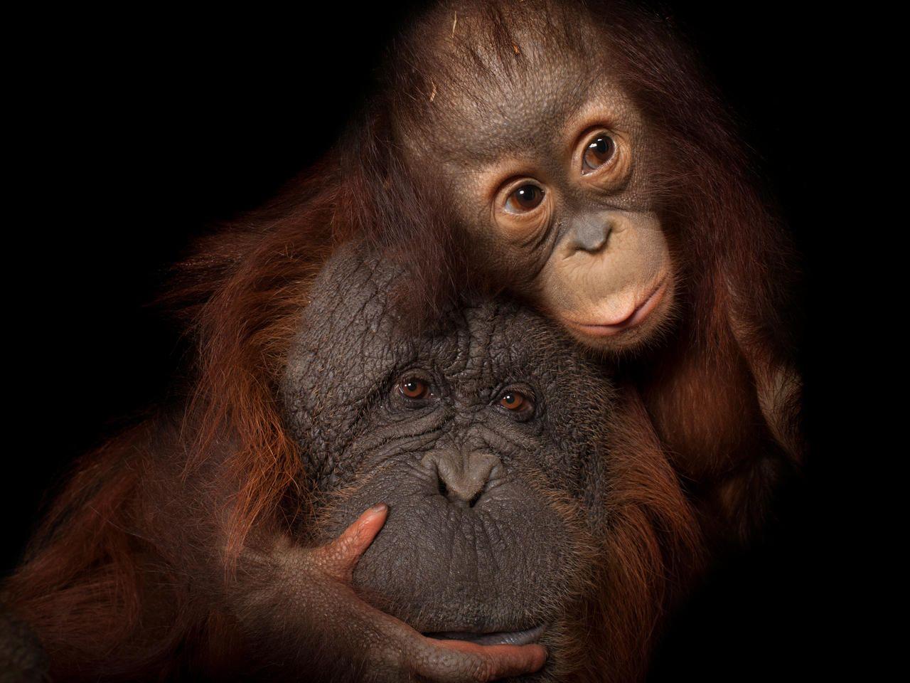 Joel Sartore's Photo Ark in 2020 Bornean orangutan