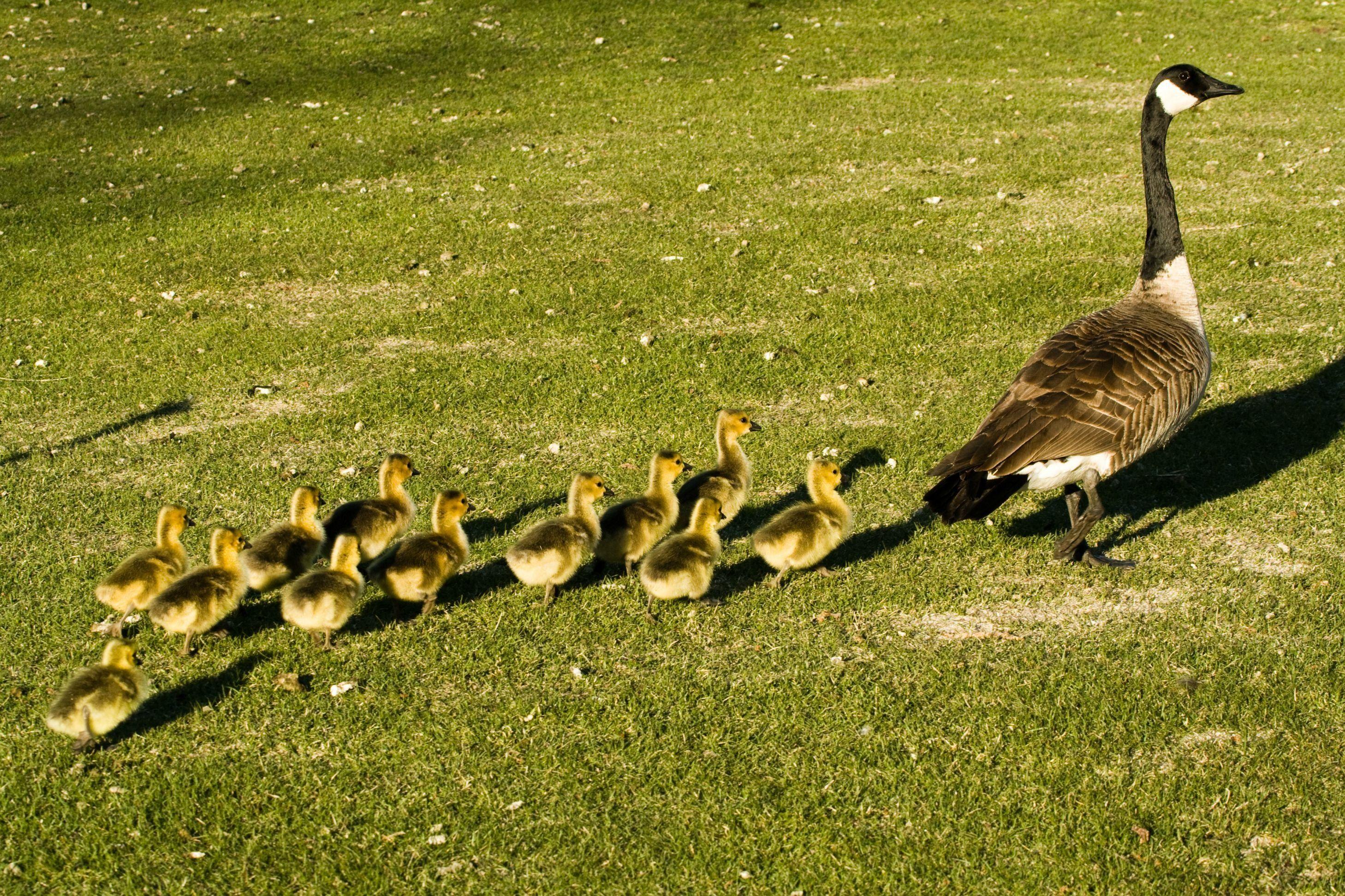 Baby Geese Beautiful Duck | High Def Wallpaper | Pinterest | Animal ...