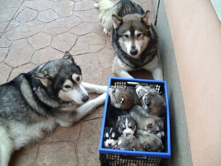 Mom And Dad And Their Carton Of Cuteness Baby Huskies Puppies