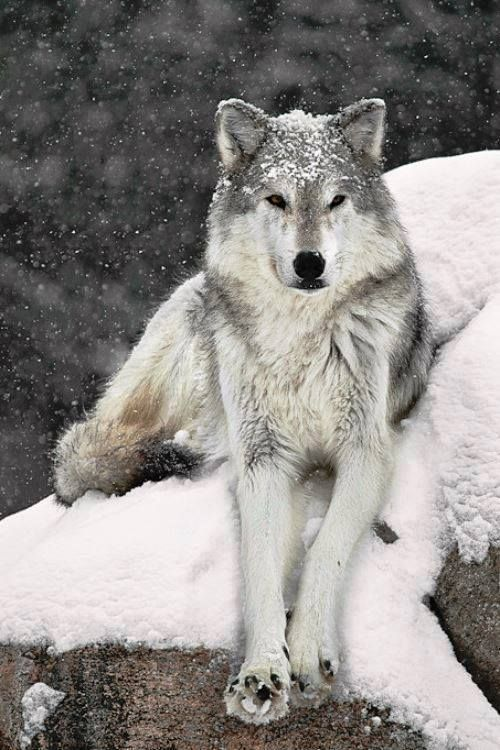 Riesen Wolf