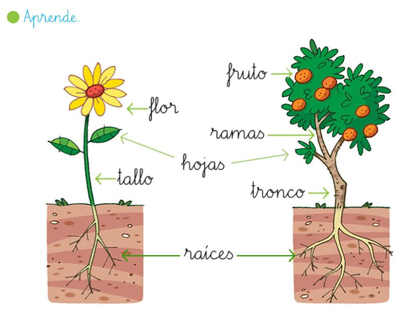 Mi rinconcito de primaria las plantas plantas pdi for Cuales son las partes de un arbol