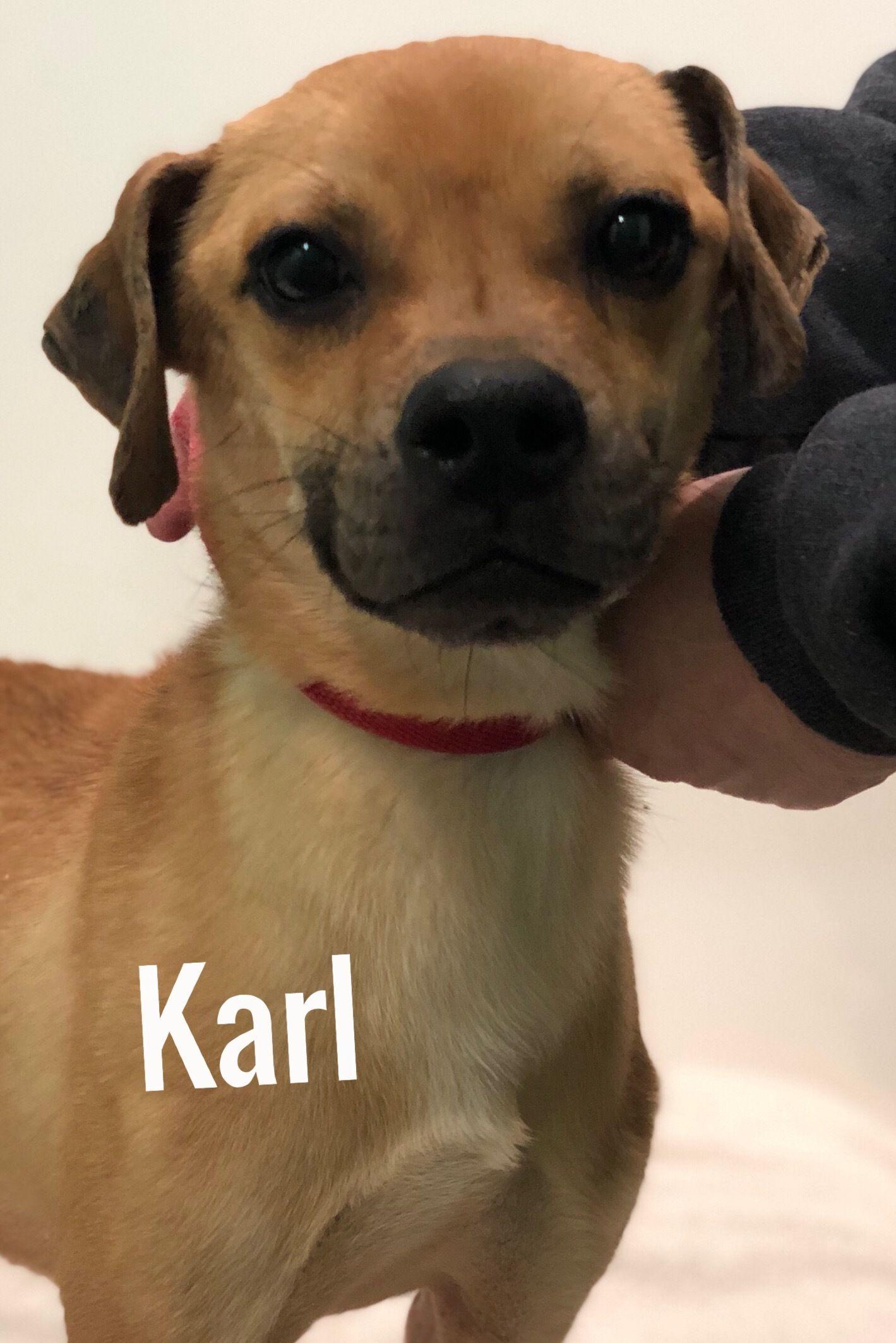 Adopt Karl on Adoptable beagle, Pets, Calm dog breeds
