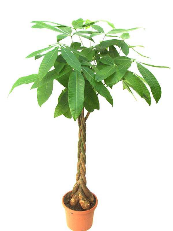 1 PCS money tree seeds mini pachira bonsai seeds for garden plant and home decor