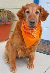 Adopt Hazel 7 Yrs Adopted On Dogs Golden Retriever Golden