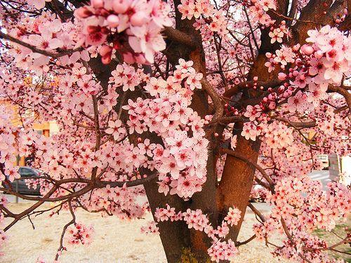 Tumblr Ljmnkex3ph1qeldjao1 500 Jpg On Imgfave Blossom Trees Cherry Blossom Blossom