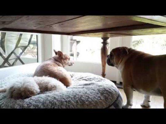Stubborn Bulldog Throws Temper Tantrum Over Stolen Bed Dogs