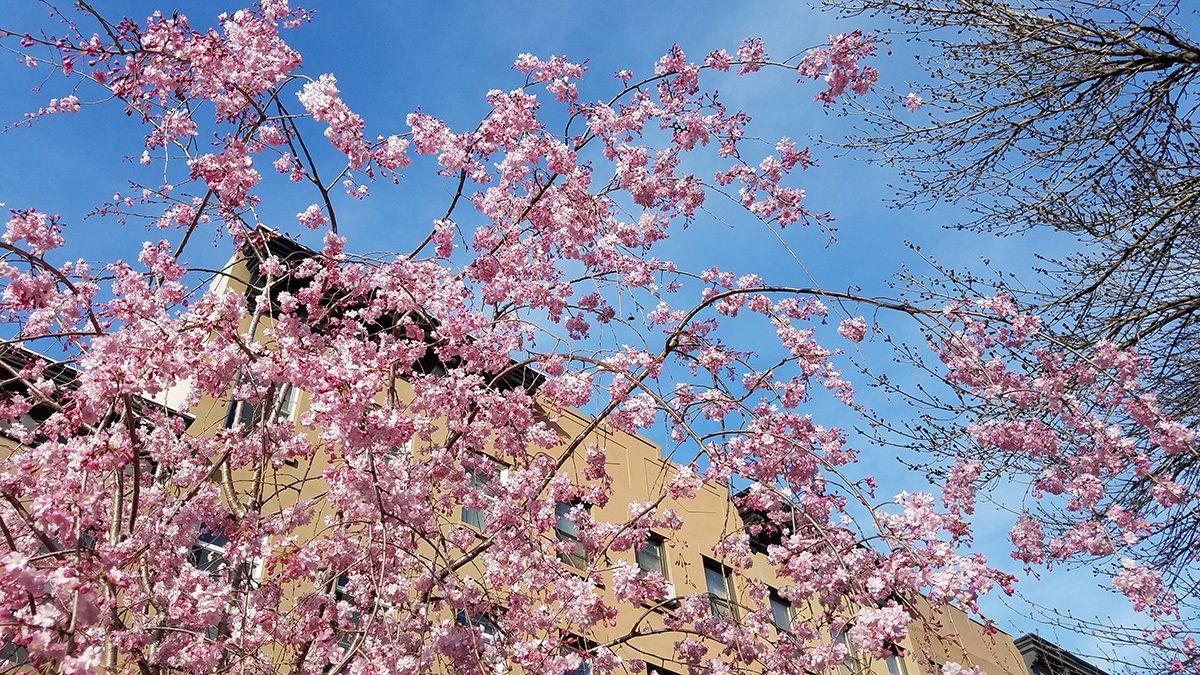 Gardening 101 Cherry Trees Gardenista Spring Flowering Trees Flowering Cherry Tree Flowering Trees