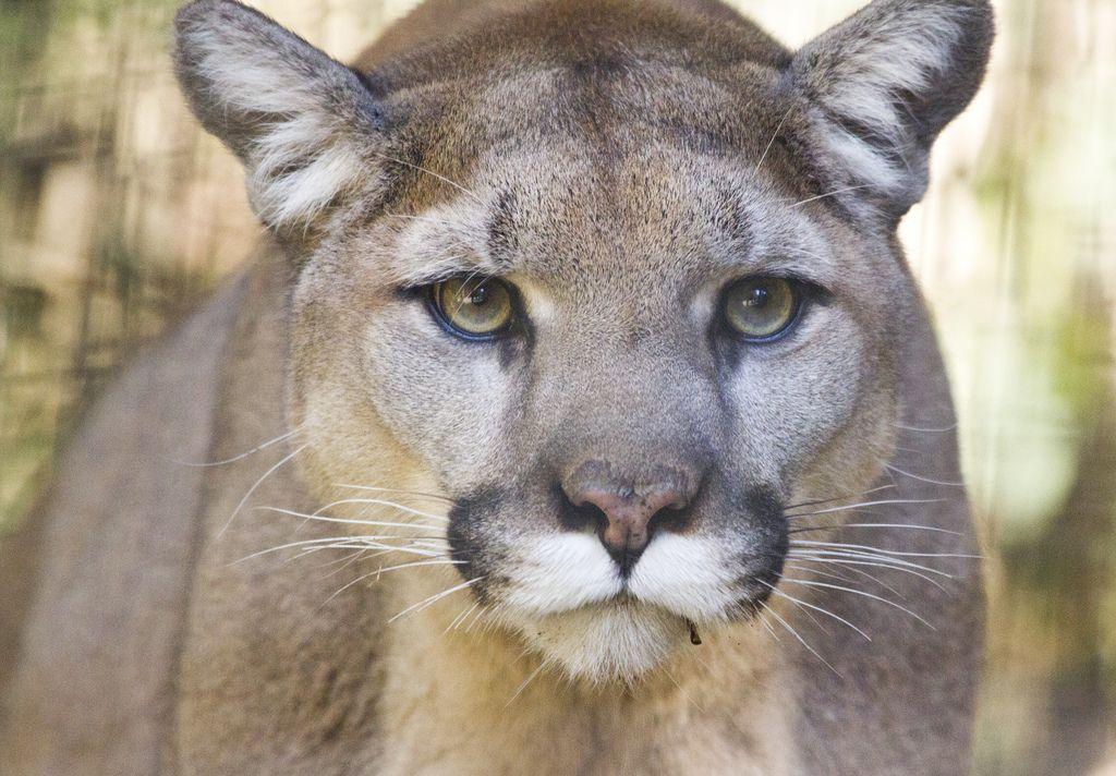 phototoartguy Mountain Lion (by San Diego Shooter