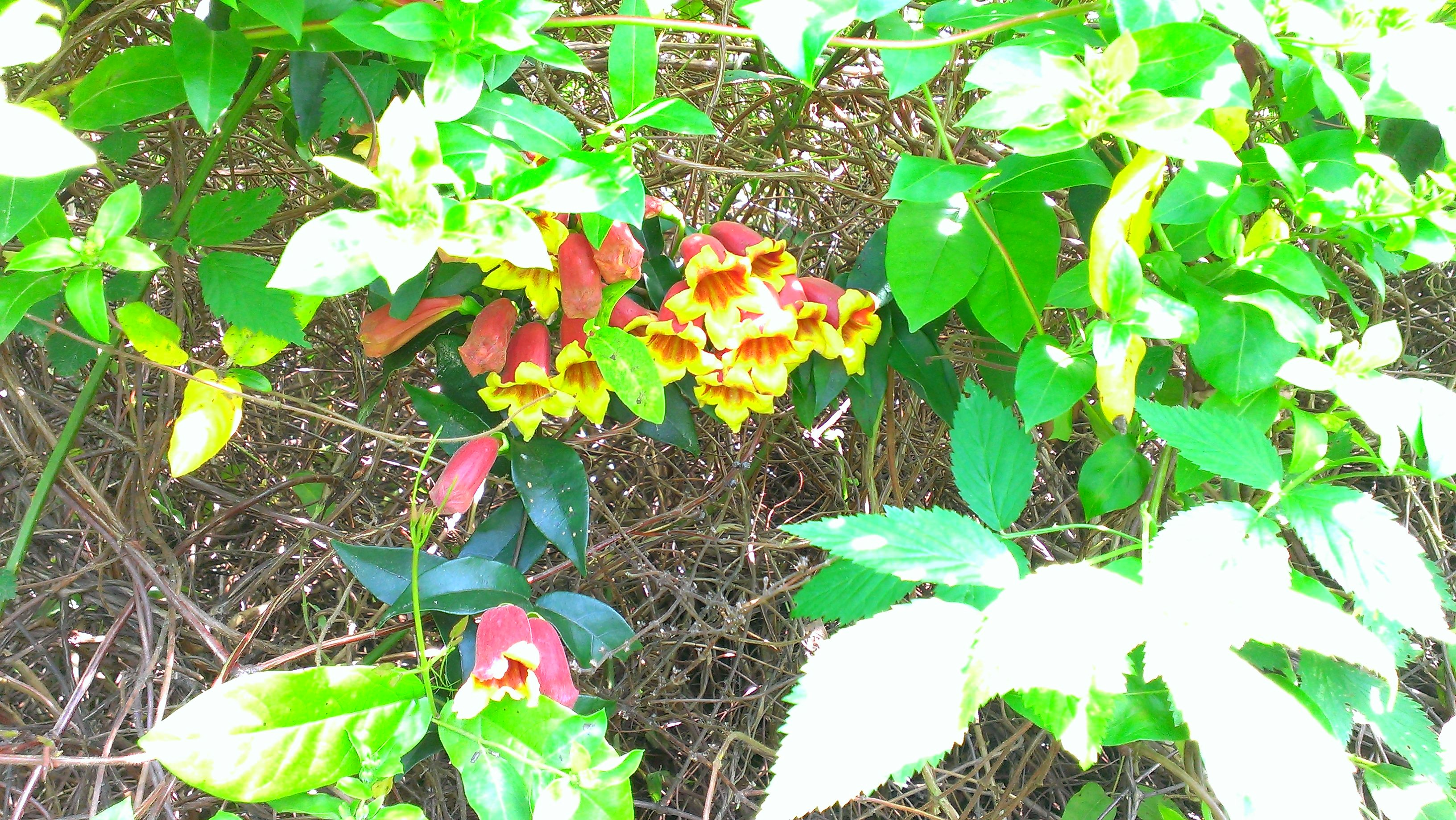 Bell Shaped Flowers Of Maroon And Yellow Growing On A Sprawling