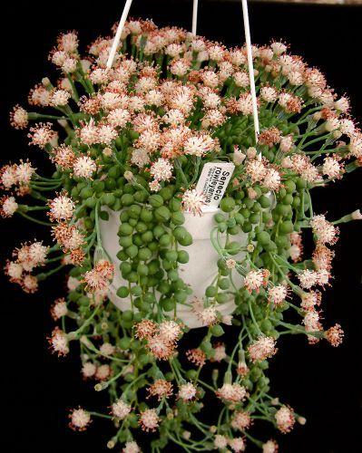 Senecio rowleyanus..string of pearls in flower