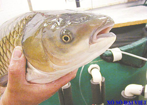mơ thấy cá trắm đánh con gì