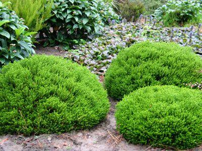 hebe green globe zahrada pinterest emeralds gardens and plants. Black Bedroom Furniture Sets. Home Design Ideas