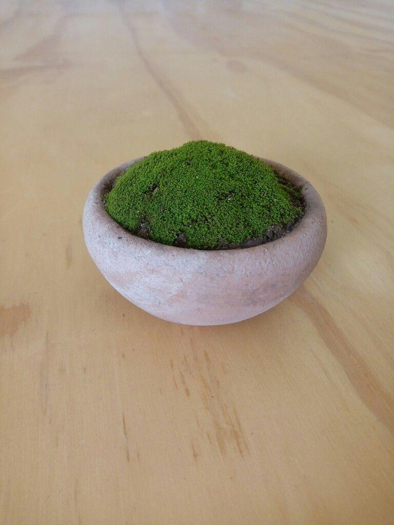 Musgo en vasija de barro