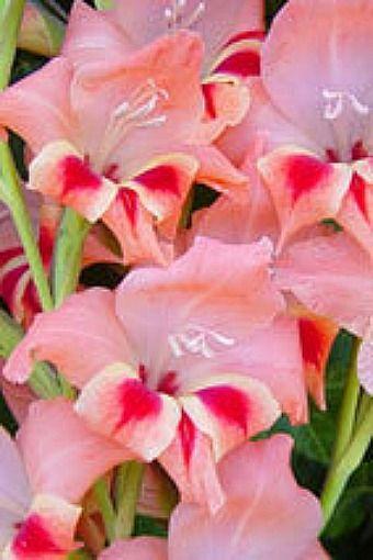 Gladiolus Nanus Nathaly Gladiolus Easy To Grow Bulbs Gladiolus Flower