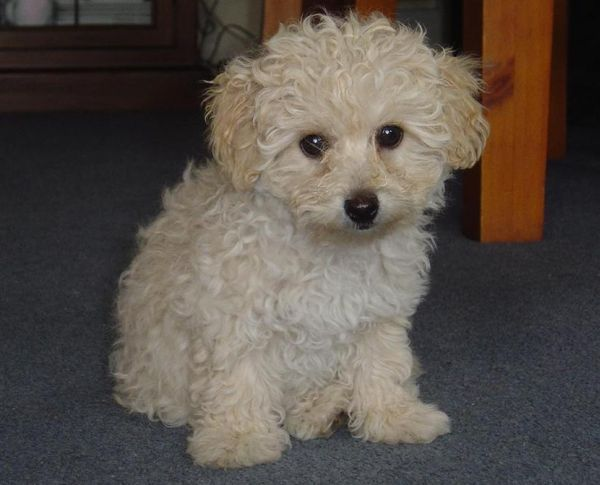 Toy poodle as a pet