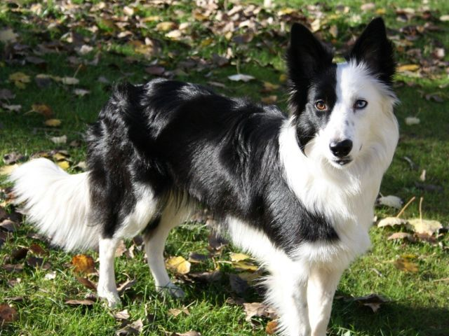 Border Collie Walking On Autumn Leaves And Looking For The Pile You Just Finished Raking Collie